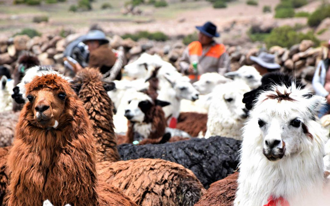 Becoming a shepherd of llamas at the Chilean Andes
