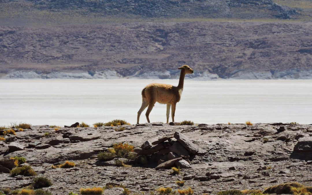 Wildlife Photo Safari Pacific-Andes tour from Iquique
